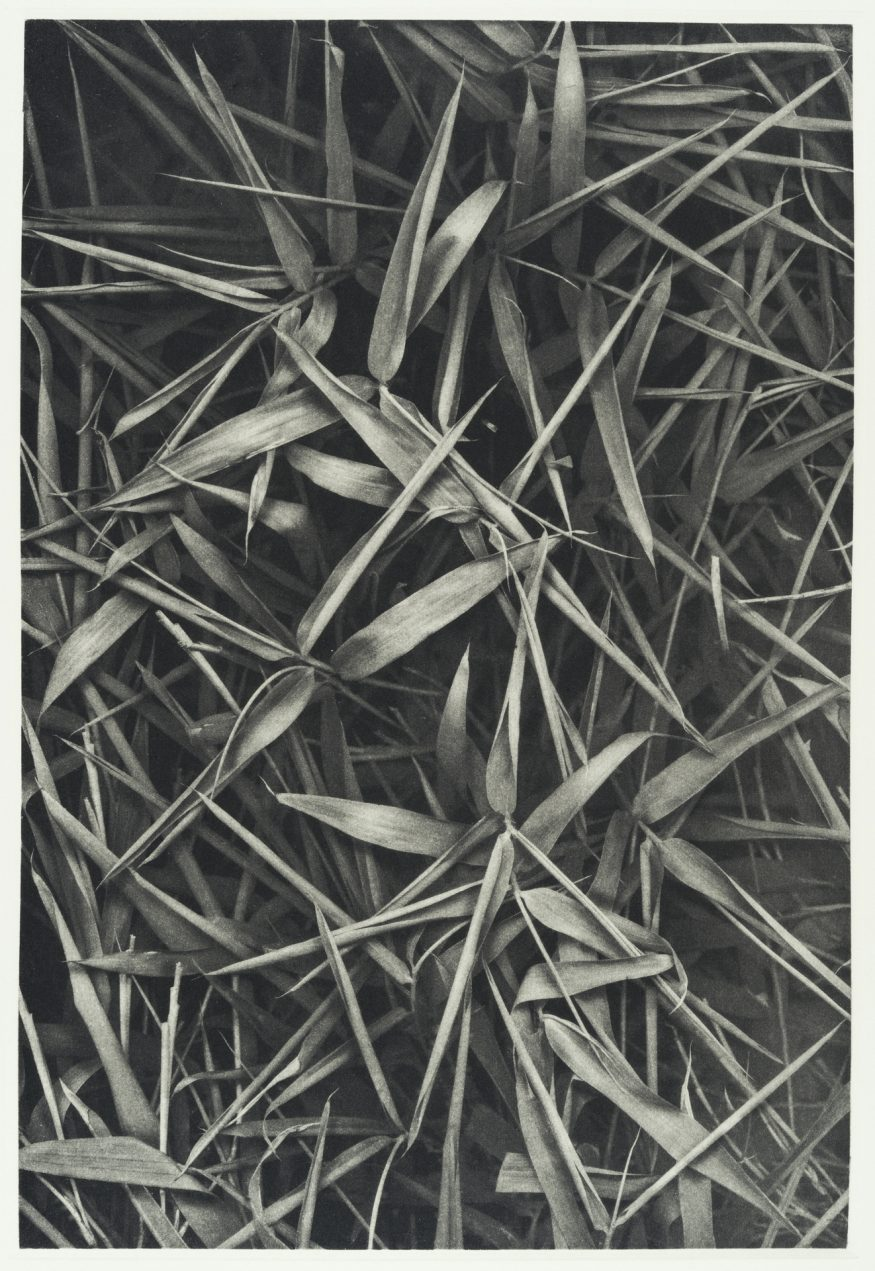 "Bamboo I – 20"" x 16"" Copperplate Photogravure on Somerset Satin"