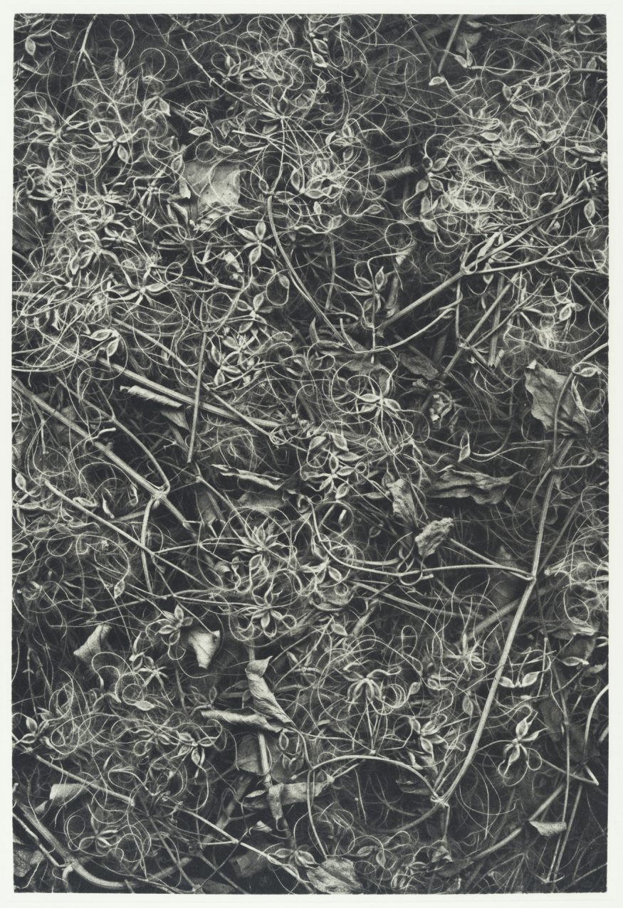 "Clematis VII – 20"" x 16"" Copperplate Photogravure on Somerset Satin"