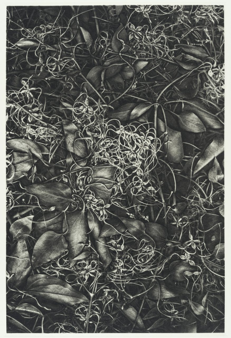 "Clematis VI – 20"" x 16"" Copperplate Photogravure on Somerset Satin"