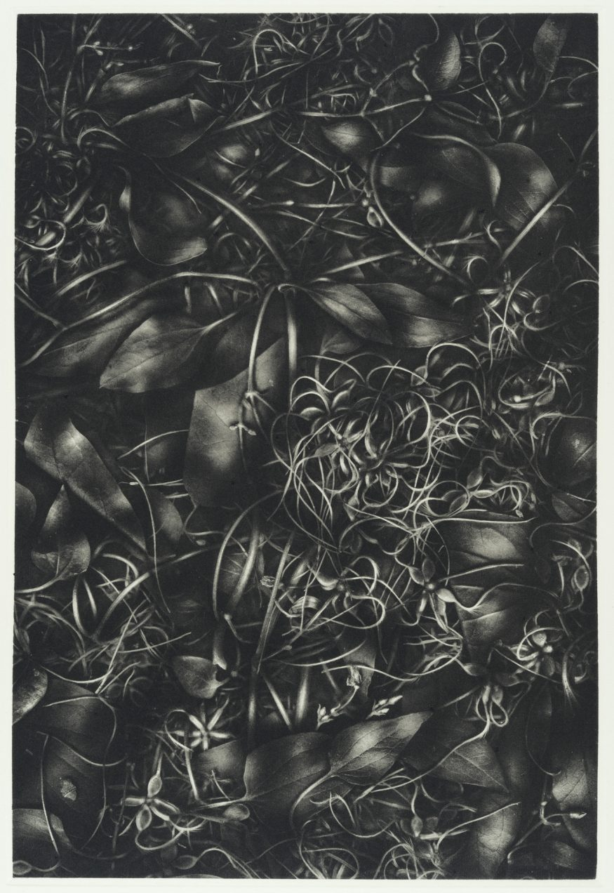 "Clematis V – 20"" x 16"" Copperplate Photogravure on Somerset Satin"